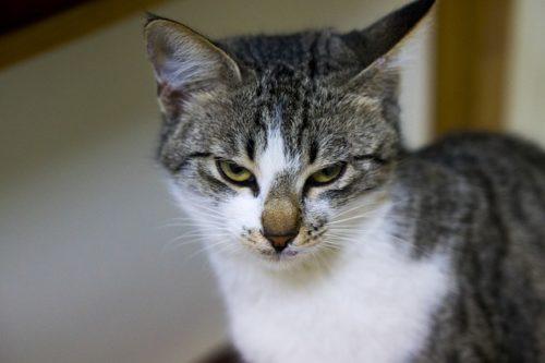 叱られて飼い主を睨む猫