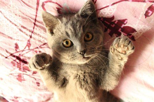 叱った後ゴロンと横になる猫