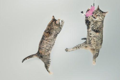 元気いっぱいジャンプして遊ぶ猫